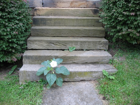 Datura on the Steps